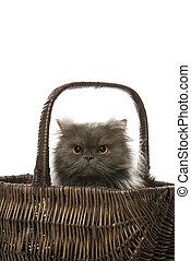 gris, gato persa, en, basket.