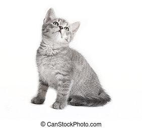 gris, gato tabby, mirar hacia arriba