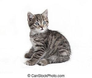 gris, gato tabby, sentado
