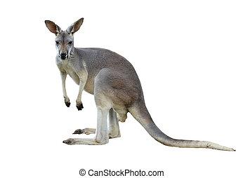 gris, kangourou