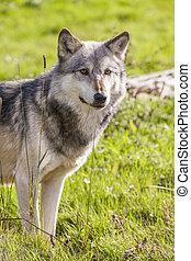 gris,  Lupus, norte, norteamericano,  Canis, lobo