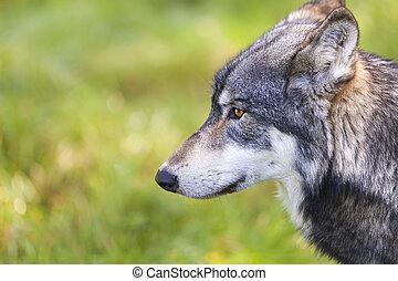 gris, lupus, norteamericano, canis, lobo