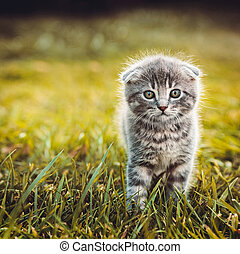 gris, marche, herbe, chat vert