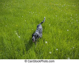 gris, marche, pré, chien chasse, élevé, courant, pissenlits, noir, herbe verte, heureux