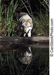 gris, naturel, loup, habitat, portrait