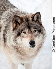 gris, nieve, arriba, mirar, cámara, lobo