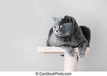 gris, peludo, gato, colocar, en, el, cima, de, el, scratcher