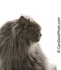 gris, persan, cat.
