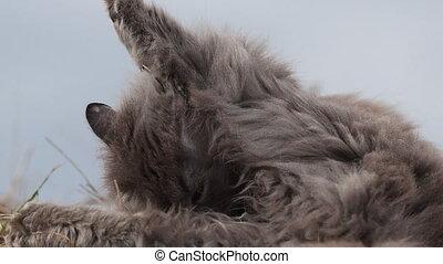 gris, poupe, chat, manteau, nettoyage, sien