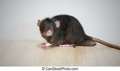 gris, rat, animal domestique