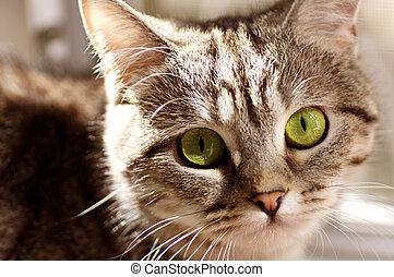 gris, scottish-straight, gato
