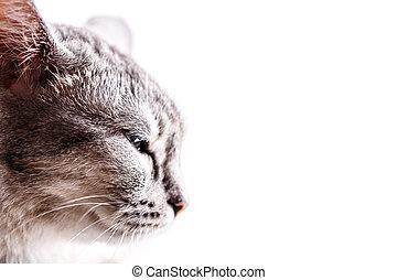 gris, tête, chat