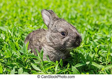 gris, verde, poco, césped, conejo