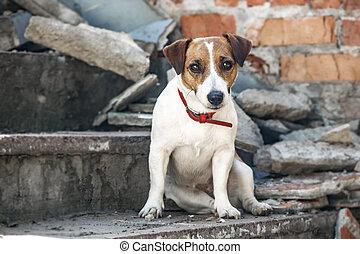 gris, viejo, russell, sentado, pared, perro, destruido, concreto, pasos, gato, plano de fondo, ladrillo, terrier, edificio.