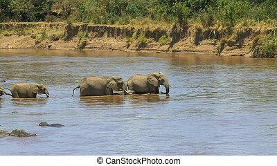 grit, mara, olifanten, lang, kudde, kruising, rivier, startend