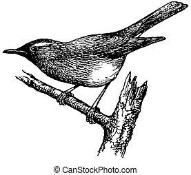 grive, oiseau, sibérien