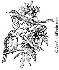 grive, oiseaux, chanson