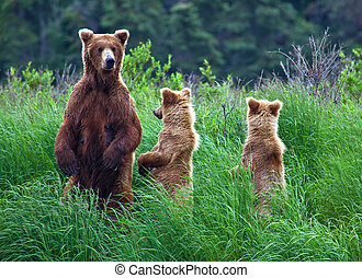 grizly, bär, an, alaska