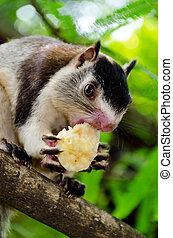 grizzled giant squirrel Ratufa macroura - The grizzled giant...