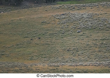 Grizzlies Chase Wolf in Lamar Valley of Yellowstone National Park