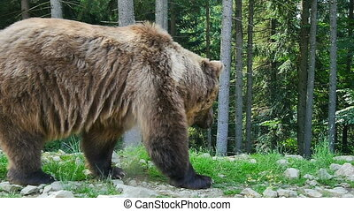 Grizzly - A big brown bear in the forest