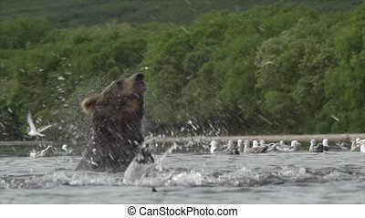 Grizzly bear and salmon.