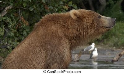 Grizzly bear and salmon. - Grizzly bear fishing in water.