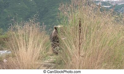 Grizzly Bear approaching through high grass