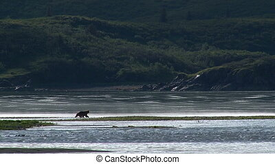 Grizzly Bear at Katmai estuary - Grizzly Bear (Ursus arctos...