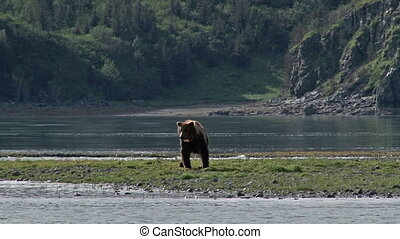 Grizzly Bear at Katmai estuary