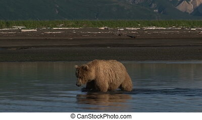 Grizzly Bear at  Katmai estuary.
