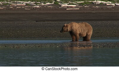 Grizzly Bear at Katmai estuary. - Grizzly Bear (Ursus arctos...