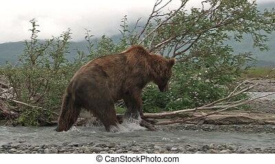Grizzly Bear at Katmai estuary - Grizzly Bear (Ursus arctos...