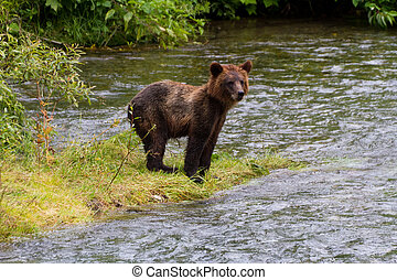 grizzly bear cub - grizzly Bear Cub Catching Salmon at hyder...