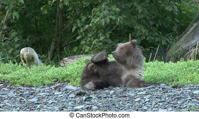 Grizzly Bear cub playing with his feet