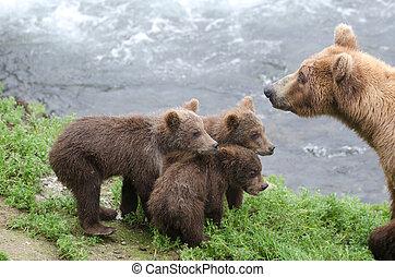 Alaskan brown bear cubs standing near the water at Brooks Falls in Katmai National Park