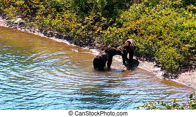Grizzly Bear Cubs Glacier Park