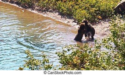 Grizzly Bear Cubs Glacier Park