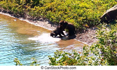 Grizzly Bear Cubs Glacier Park - Grizzly Bear (Ursus arctos...