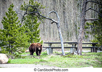 Grizzly bear encounter 1