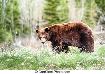 Grizzly bear encounter 3 - encounter with a grizzly bear...
