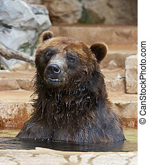 Grizzly Bear - Grizzlies are immense bears, weighing up to 1...