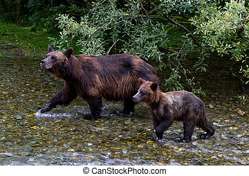 grizzly bear - Grizzly bear and Bear Cub Catching Salmon at...