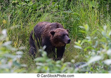 grizzly bear - Grizzly bear at hyder Alaska