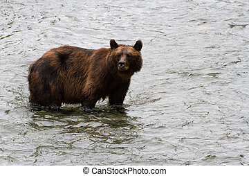 grizzly bear - Grizzly bear Catching Salmon at hyder Alaska