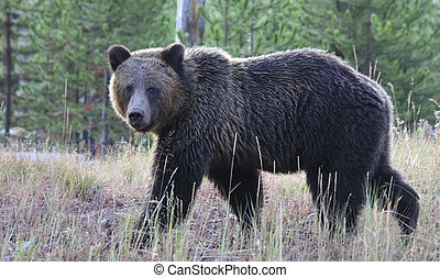 Grizzly Bear - Grizzly or brown bear. Yellowstone National...