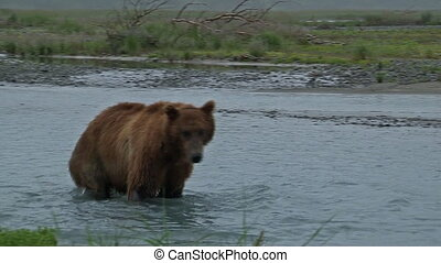 Grizzly Bear in front of camera - Grizzly Bear (Ursus arctos...