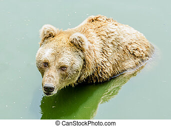 Grizzly bear in zoo