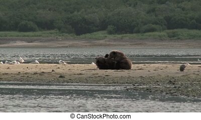 Grizzly Bear mother lactating her cubs
