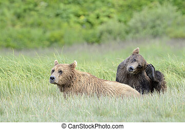 Grizzly Bear mother with cub in grass